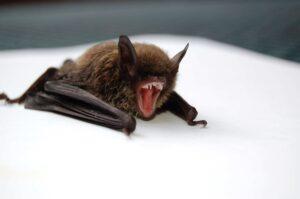 Nipah and bat